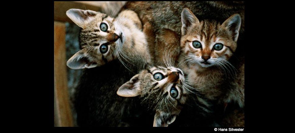 Les chats – Hans Sylvester