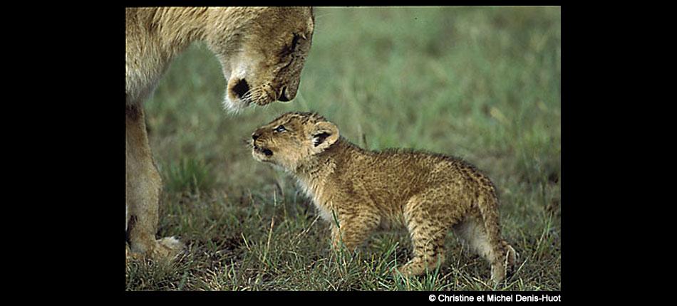Lionne et lionceau, Kenya – Christine et Michel Denis-Huot