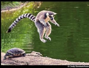 Lémurien sauteur : La tortue et le singe – Cindy Bendush/Solent