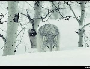 Le loup – NHPA